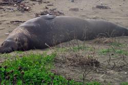 Elephant Seal at waddell creek beach California
