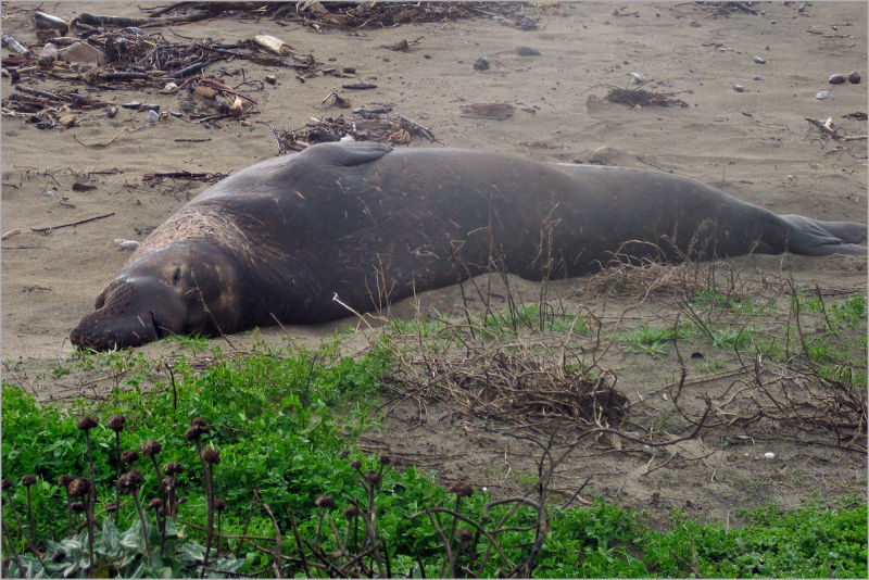 Elephant Seal at waddell creek beach California