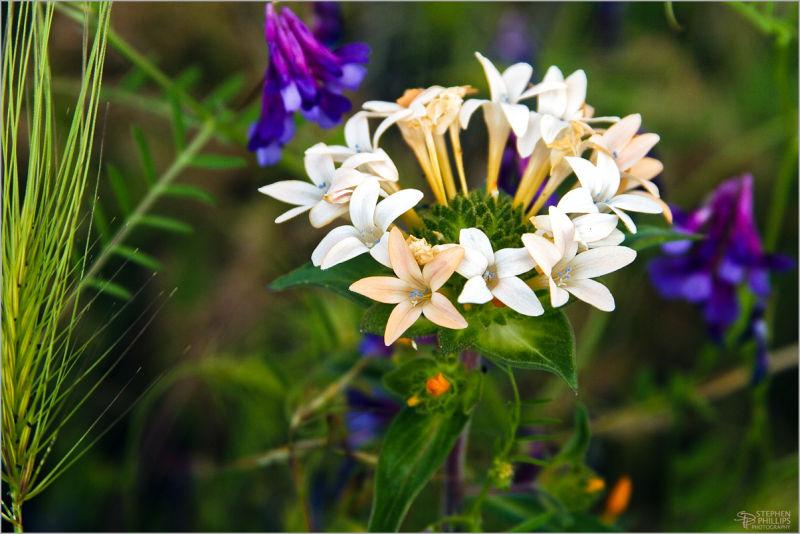wildflowers on Mount Shasta California
