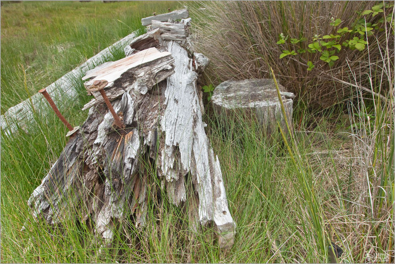 an old piling gives way to nature
