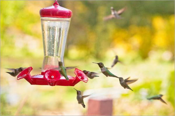 humming bird feeder crowd