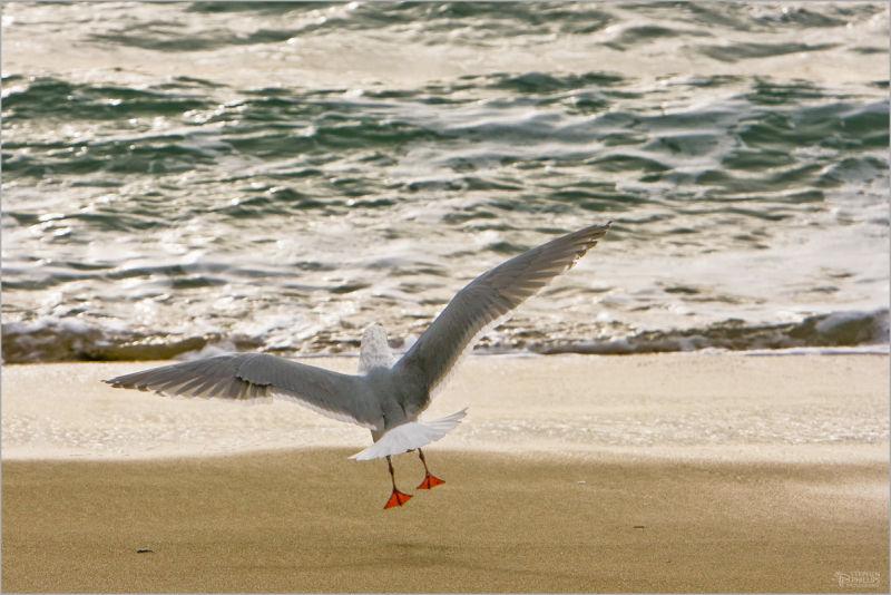 landing gull at the beach
