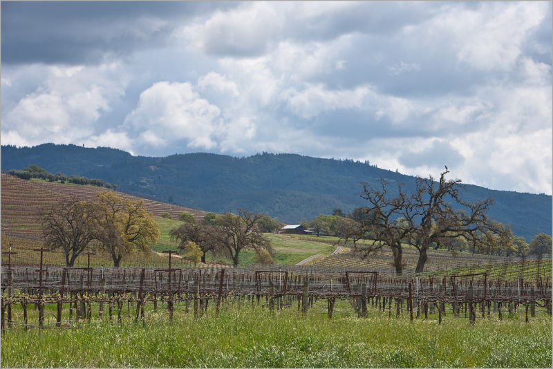 Spring in the Sonoma Valley vineyards