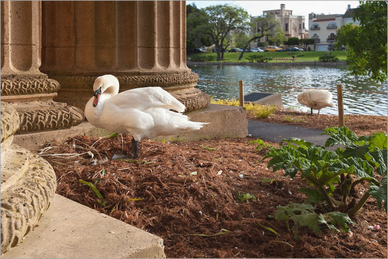 Swans at Palace of Fine Arts in San Francisco