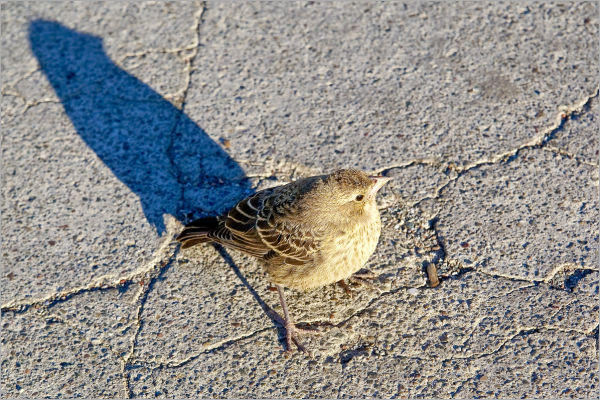 bold sparrow