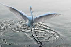Return of The Egret