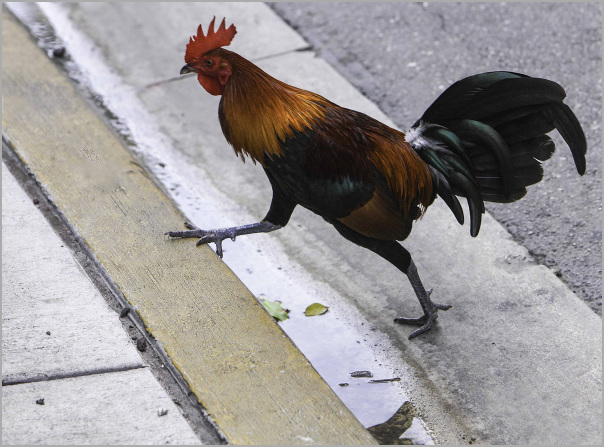 Chicken finishes crossing The Road