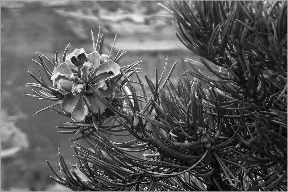 Pinyon Pine cone and branch detail