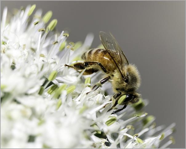 Honeybee Upon The Onion Blossom