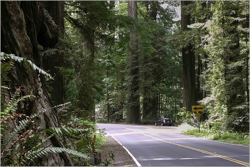 Avenue of The Giants - Redwoods National Park