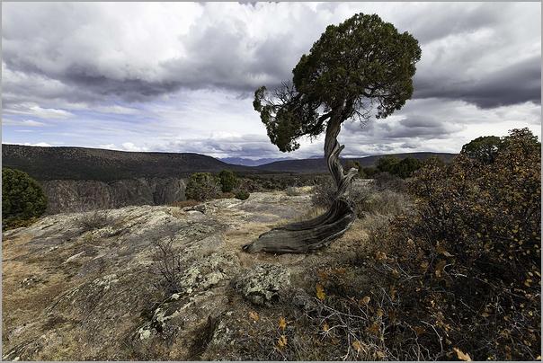 Bristolcone Pine Gunnison National Park - Colorado