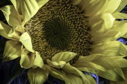 Sunlight Unfurling - Sunflower Detail