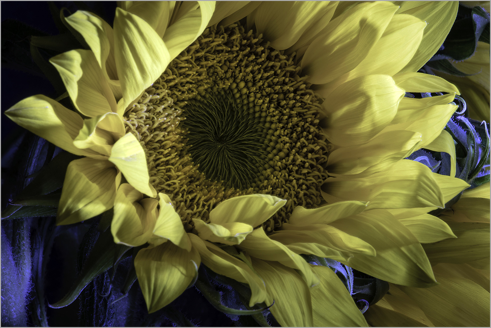 Sunlight Unfurling - Sunflower Detail