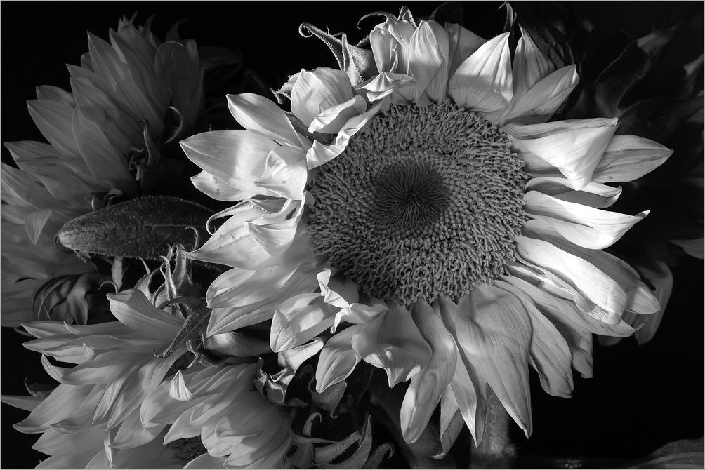 Sunflowers - Black & White Study 2