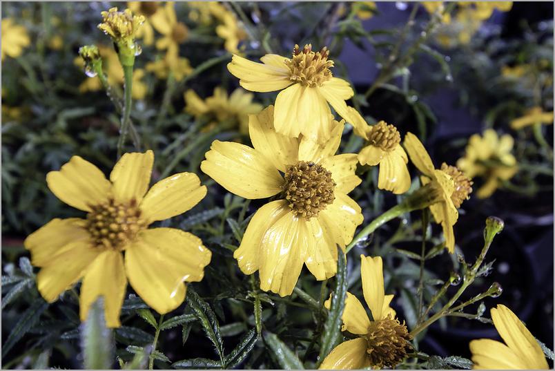Tithonia-diversifolia Mexican-sunflower