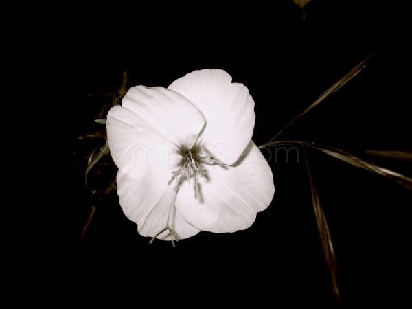 Desert Flower (Monochrome)