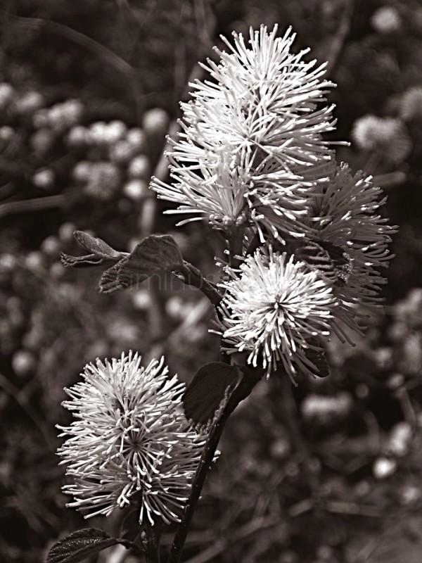 Mono Flower (Brooklyn Botanical Garden)