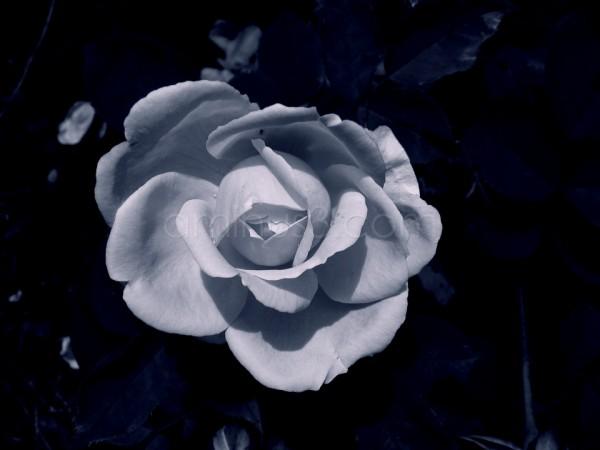Mono Rose II