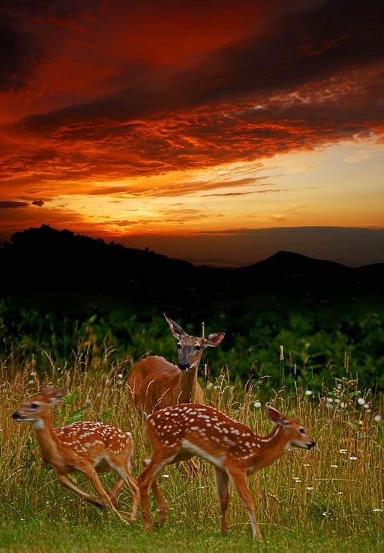 two fawns playing