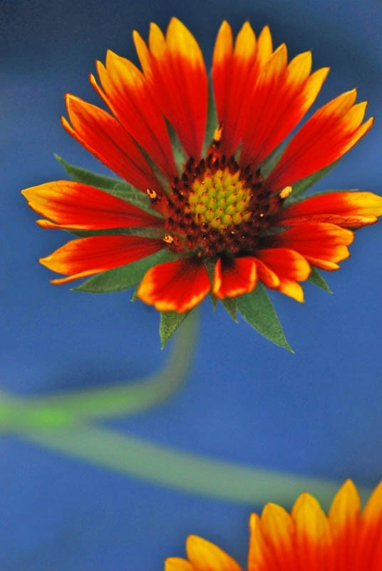 Blanket flower with Blue background