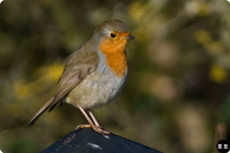 robin in all its glory