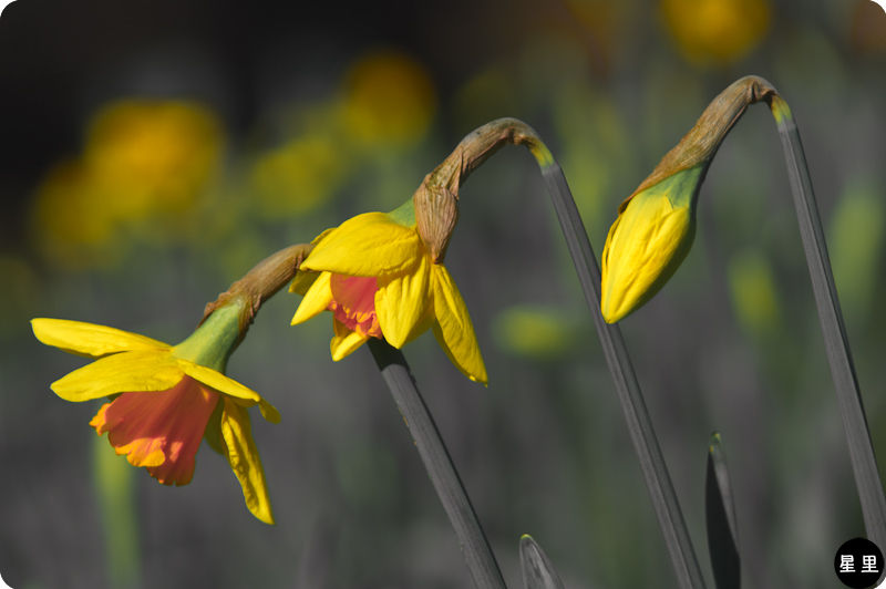 daffodil Out of the grayscales of winter comes col