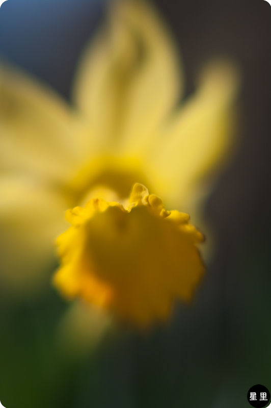 Daffodil with a lensbaby 10X macro