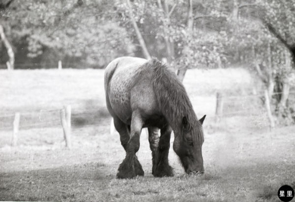 The Belgian horse, Belgian Heavy Horse, or Brabant