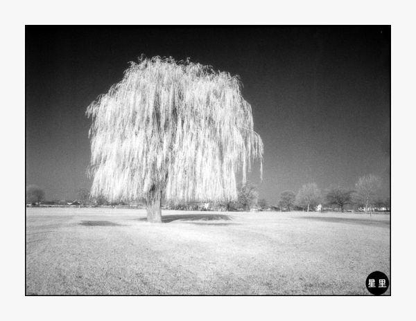 Infrared: Weeping Willow