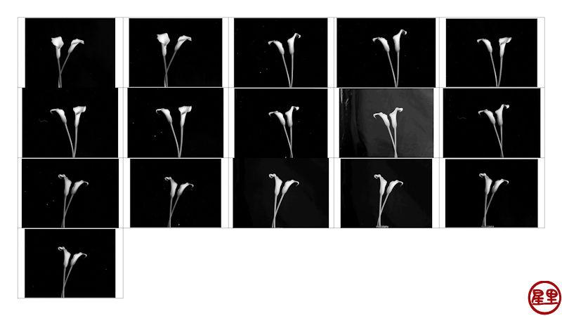 Contact sheet Calla Lilies, Pentax 645NII shoot