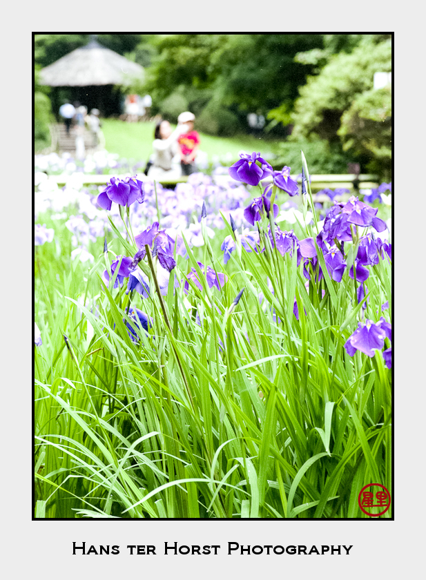 Iris garden at the Meiji Shrine