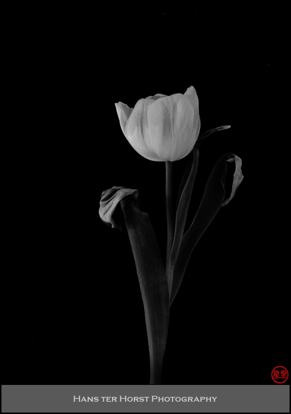 Rejected tulips