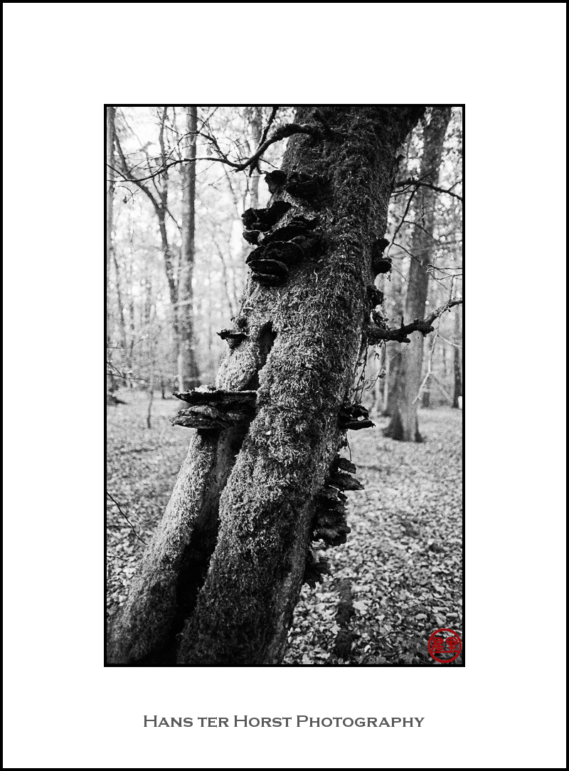 Dying tree with mushrooms
