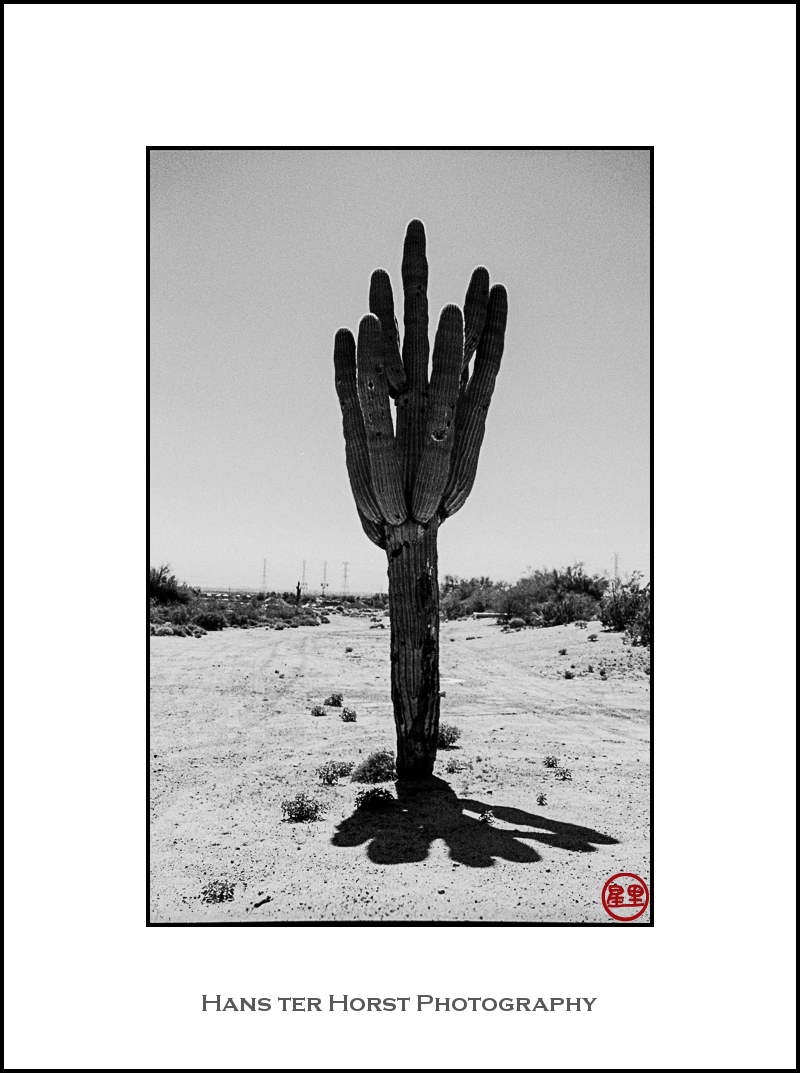 Saguaro in the burning sun