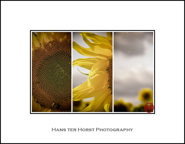 Post processed: sunflower