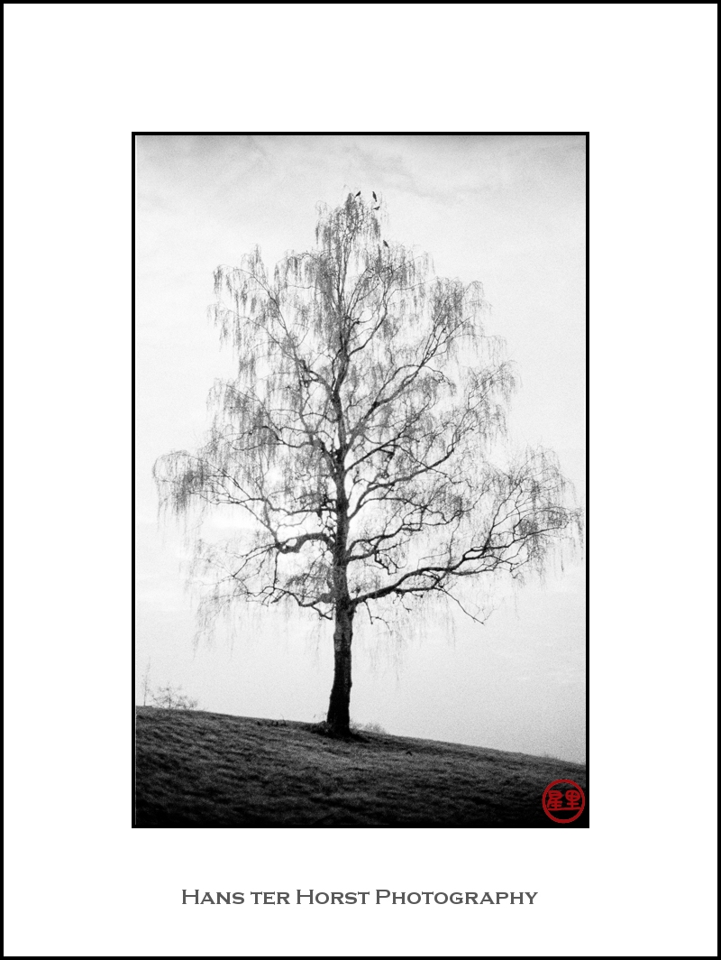 Birch tree in the fog