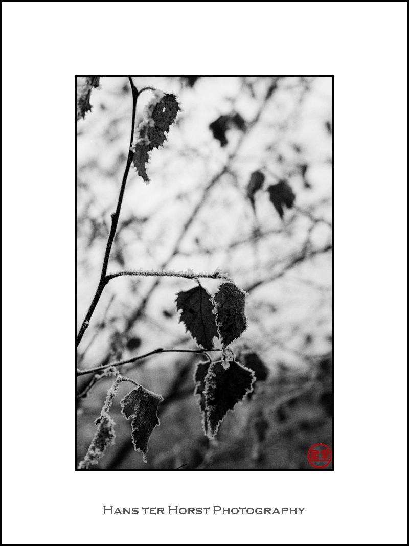 Frosty birch leaves