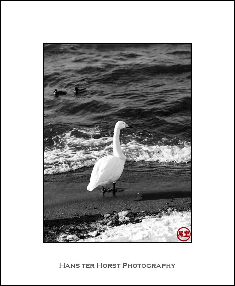 Whooper swan on Lake Kussharo
