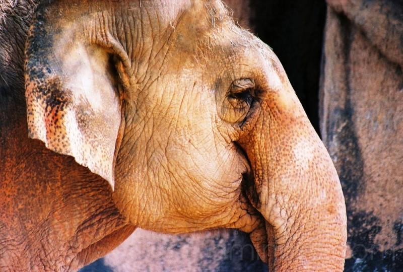 Elephant Smile*