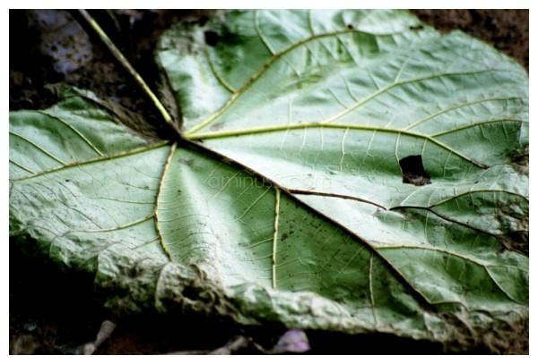 Leaf!!