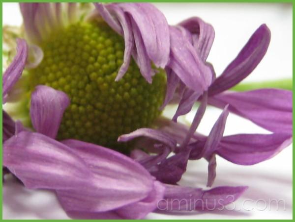 Petals(wilting)