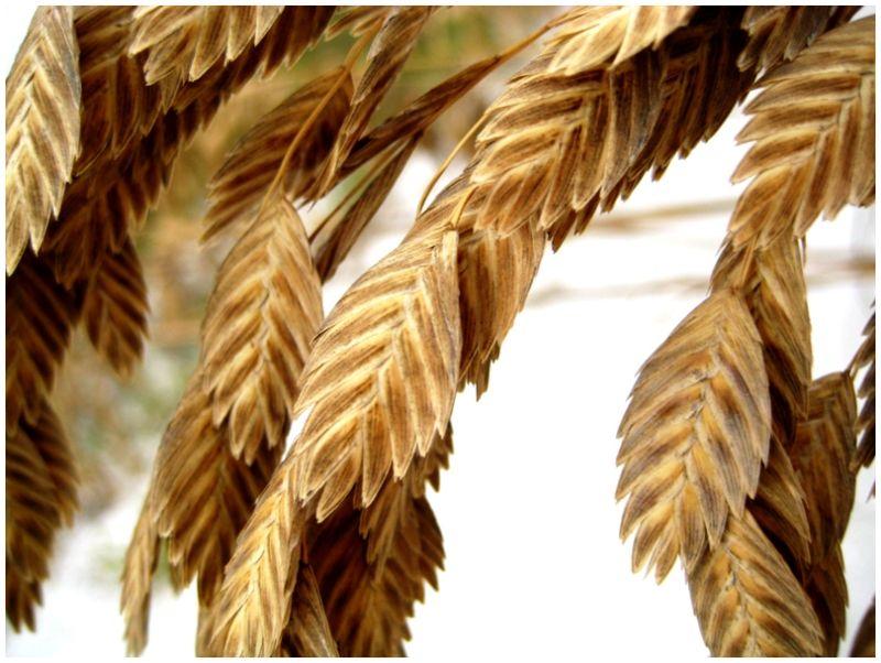 macro sea-oats brown beach sanibel