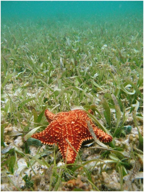 Starfish on Seagrass