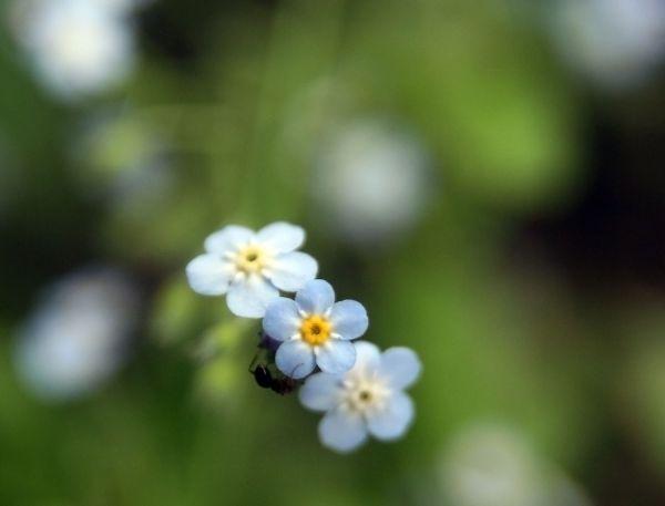 small blue flower