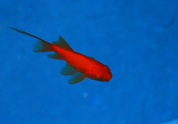 Fish in Norooz