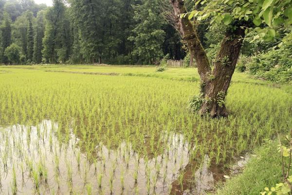 In Rice Fields