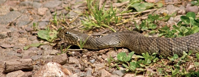 A Northern Water Snake in Pennsylvania.