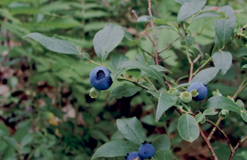 A blueberry bush in Lackawanna State Forest.