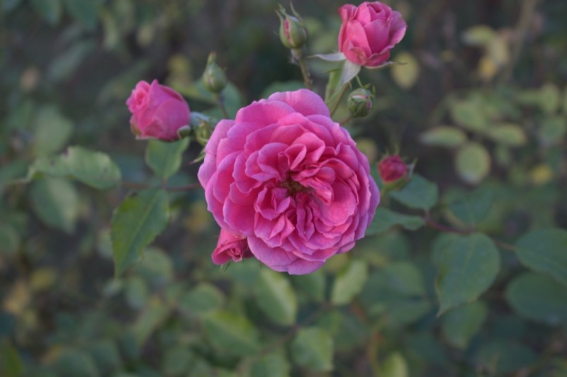 A rose in someone's garden.