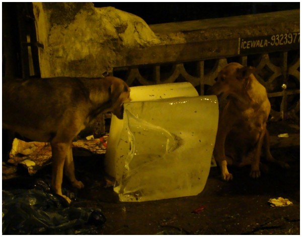 dogs eating ice on a hot night